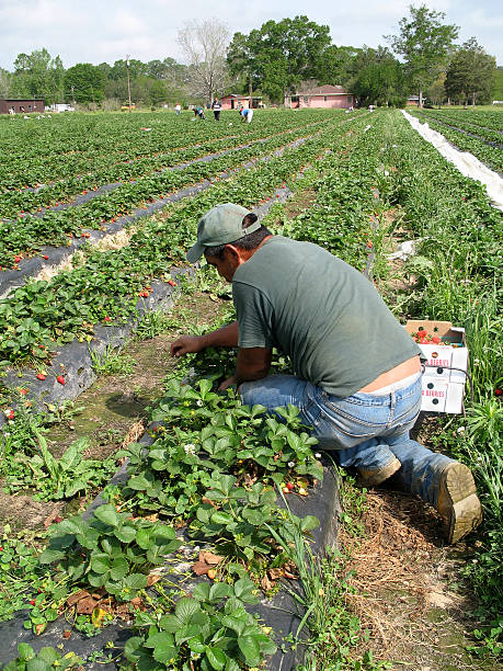 Strawberry Picker migrant worker picking fruit in a strawberry field migrant worker stock pictures, royalty-free photos & images