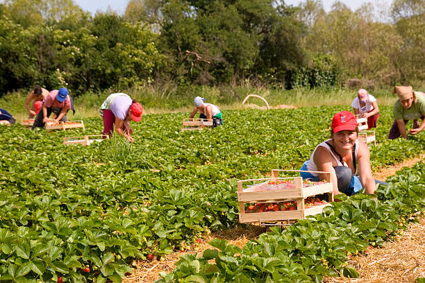 Strawberry Pickers stock photo