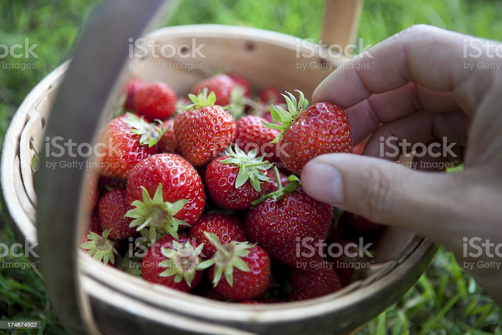 Strawberry Picking stock photo