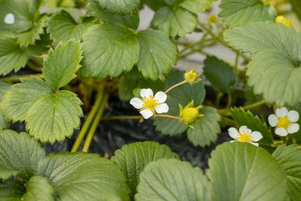 Strawberry strawberry cultivation in the  greenhouse strawberry field stock pictures, royalty-free photos & images