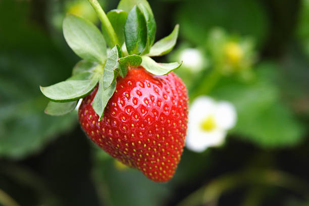 Strawberry Single strawberry hanging from a strawberry plant on a farm. strawberry field stock pictures, royalty-free photos & images