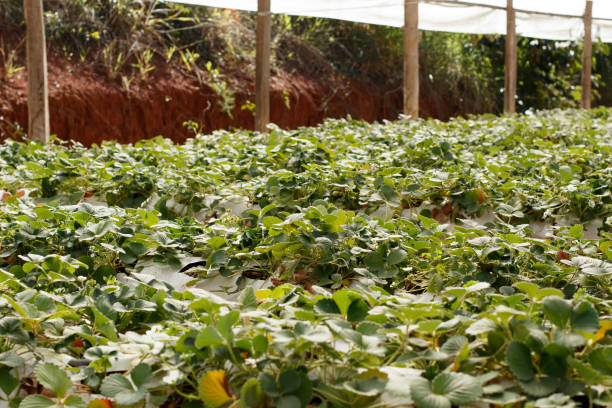 Strawberry plant cultivation. Strawberry plantation on greenhouse. Strawberry plant cultivation. Strawberry plantation on greenhouse. strawberry field stock pictures, royalty-free photos & images