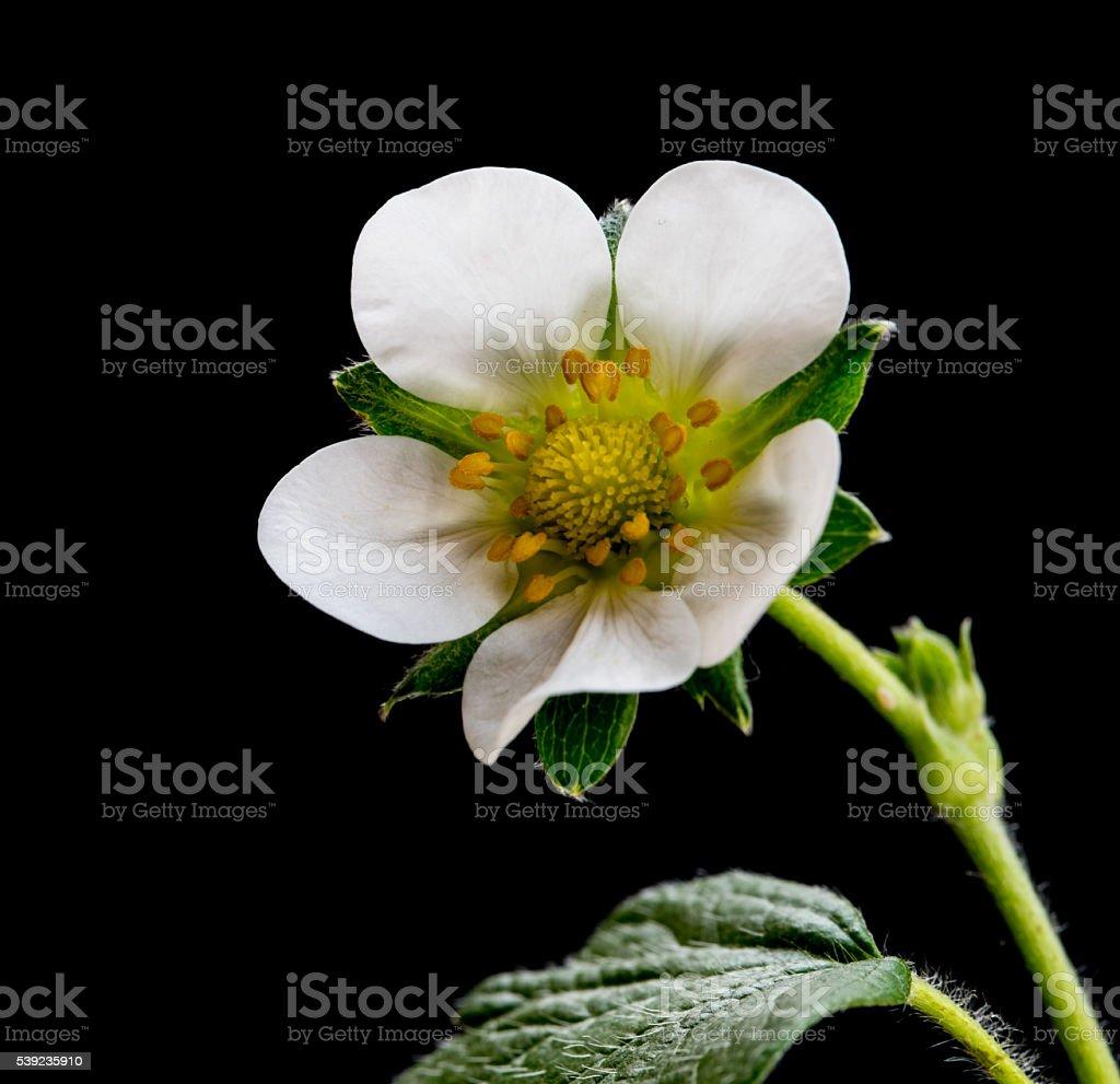 Fresa planta flor foto de stock libre de derechos