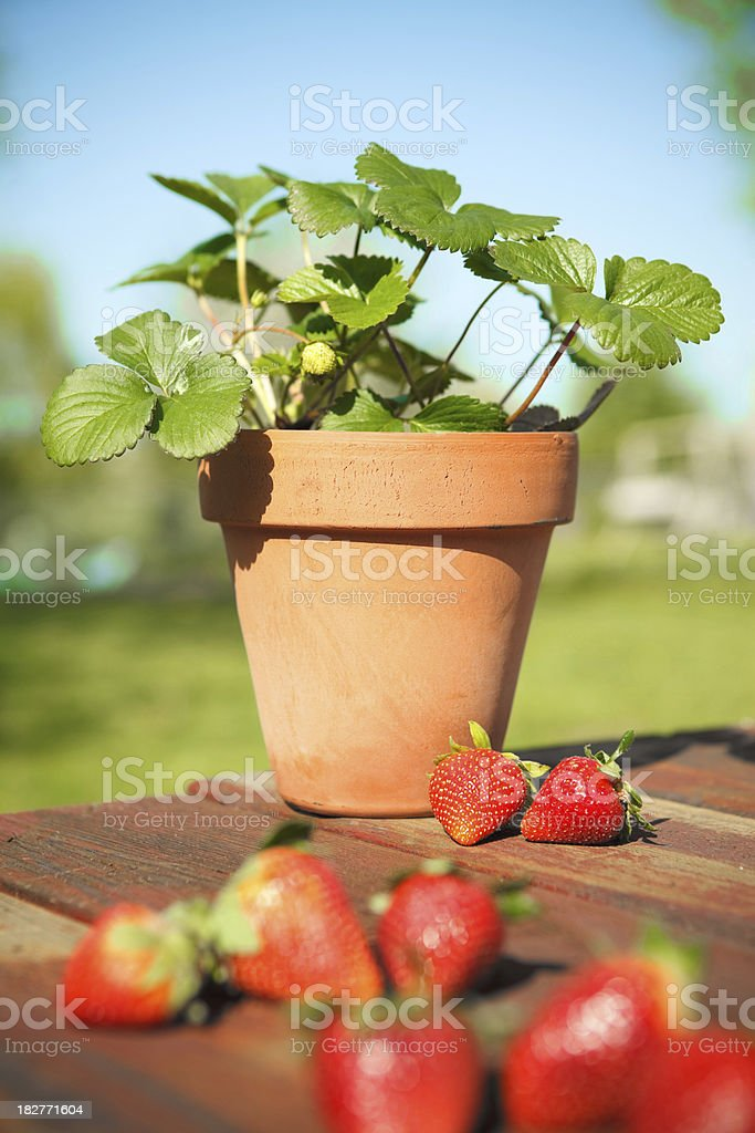 Strawberry Plant royalty-free stock photo