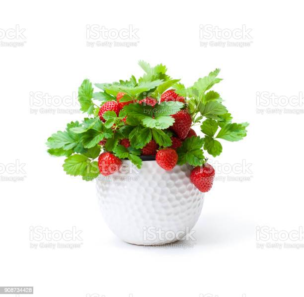 Strawberry plant with berries in small pot isolated on white concept picture id908734428?b=1&k=6&m=908734428&s=612x612&h=kszaouo6obh28z08tj0uai3qahijdb36azzmz89vxx0=
