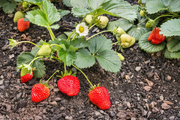 strawberry plant with fresh ripe organic strawberries closeup of strawberry plant with fresh ripe organic strawberries strawberry field stock pictures, royalty-free photos & images