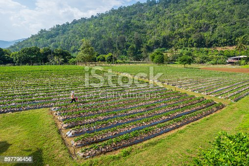 istock Strawberry plantation field in front of mountain with cloudy blue sky in the background 897796456