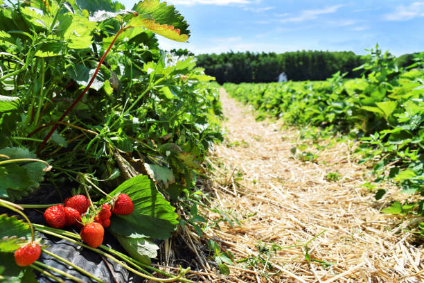 Strawberry plantation in May Strawberry nursery in springtime strawberry field stock pictures, royalty-free photos & images