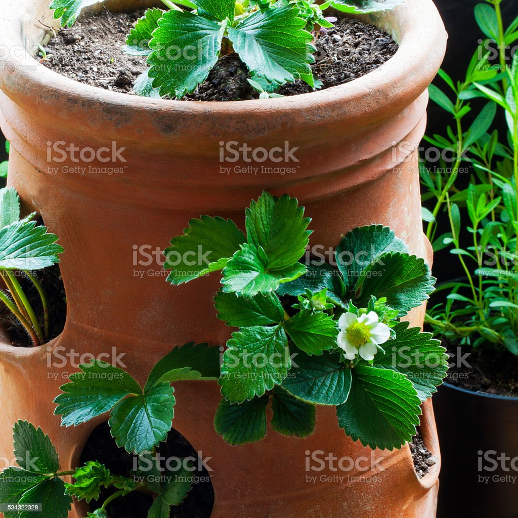 Erdbeerepflanzer Terrakottapflanzen Ideen Fur Den Garten Pflanzen Topfen Stockfoto Und Mehr Bilder Von Behalter Istock