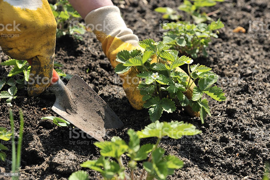 Strawberry  Planting stock photo