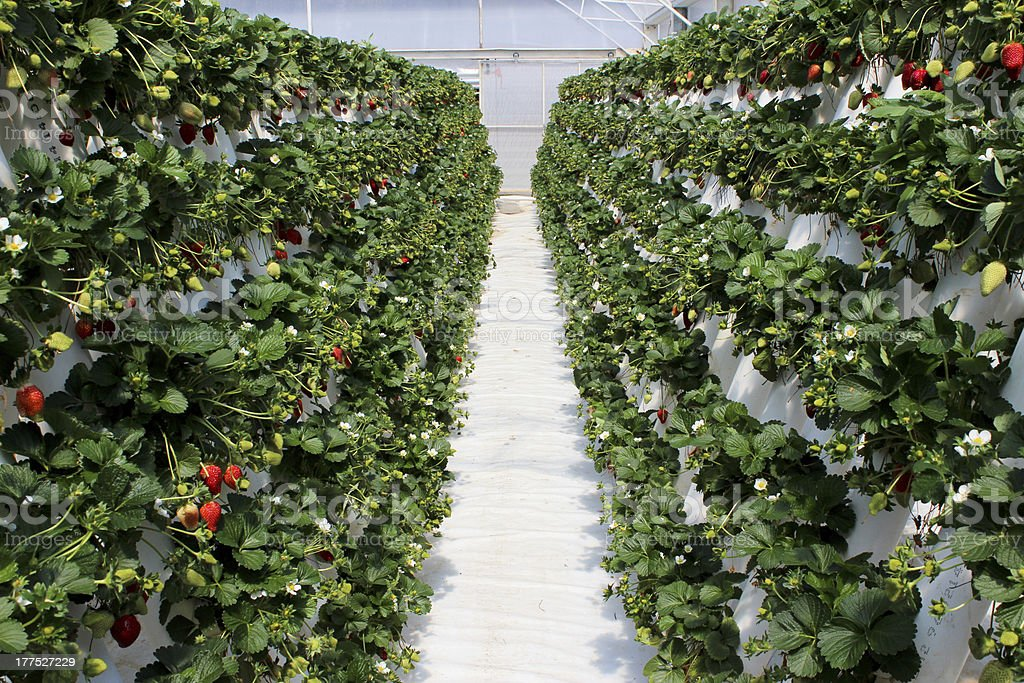 Strawberry plants filled with ripening fruit at farm royalty-free stock photo