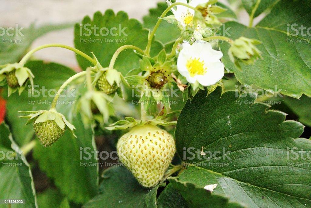 Strawberry plants. stock photo
