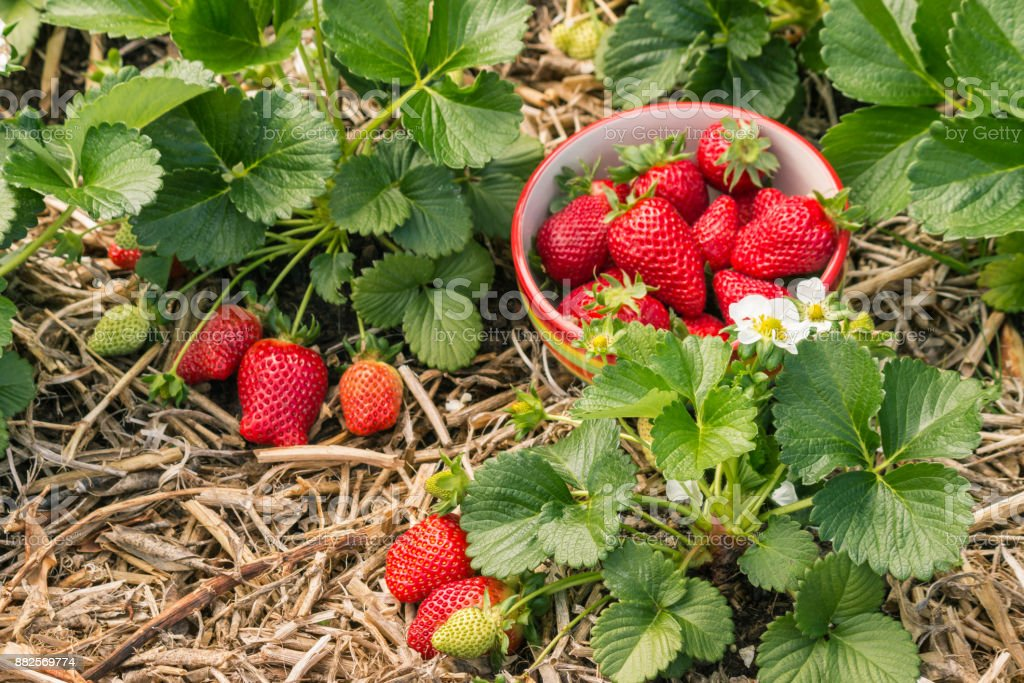 strawberry plants with ripe strawberries, flowers and bowl of strawberries stock photo