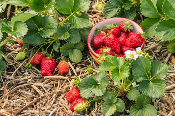strawberry plants with ripe strawberries, flowers and bowl of strawberries closeup of strawberry plants with ripe strawberries, flowers and bowl of strawberries strawberry field stock pictures, royalty-free photos & images