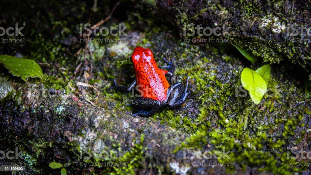 Grenouille Costa Rica grenouille fraise dans la forêt tropicale du costa rica – photos et