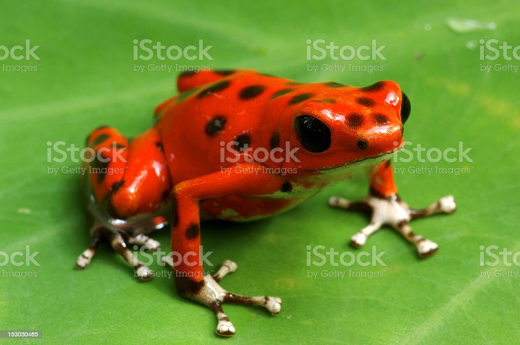 Strawberry Poison Dart Frog royalty-free stock photo
