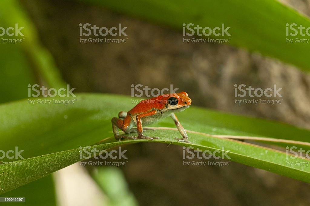 Strawberry Poison Frog royalty-free stock photo