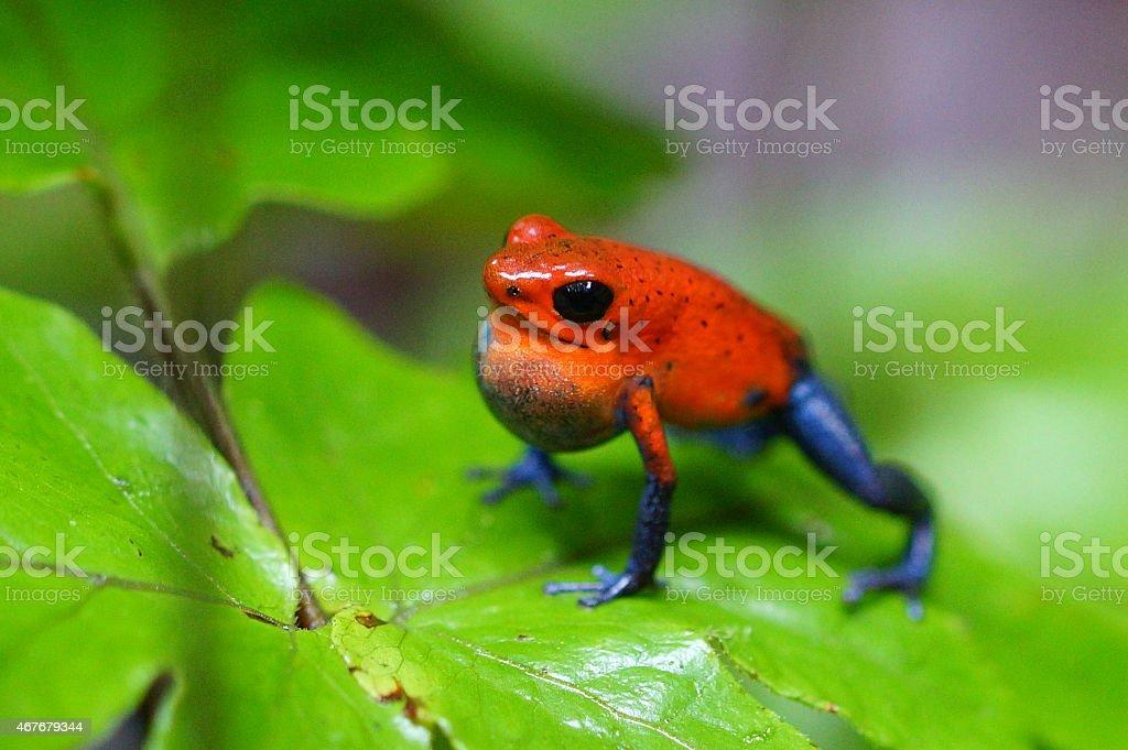 Strawberry poison frog stock photo