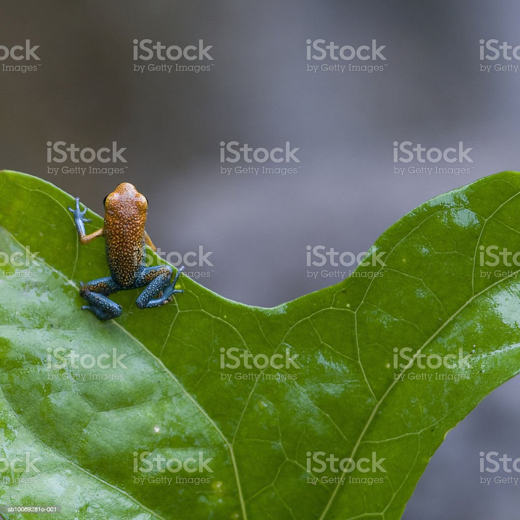 Strawberry Poison-dart frog (Dendrobates pumilio) on leaf royalty-free stock photo