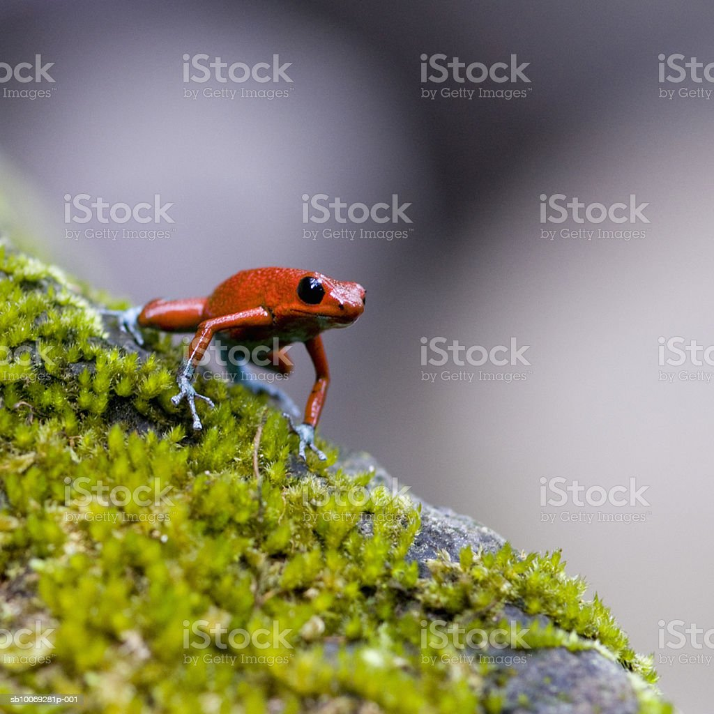 Strawberry Poison-dart frog (Dendrobates pumilio) on moss royalty-free stock photo