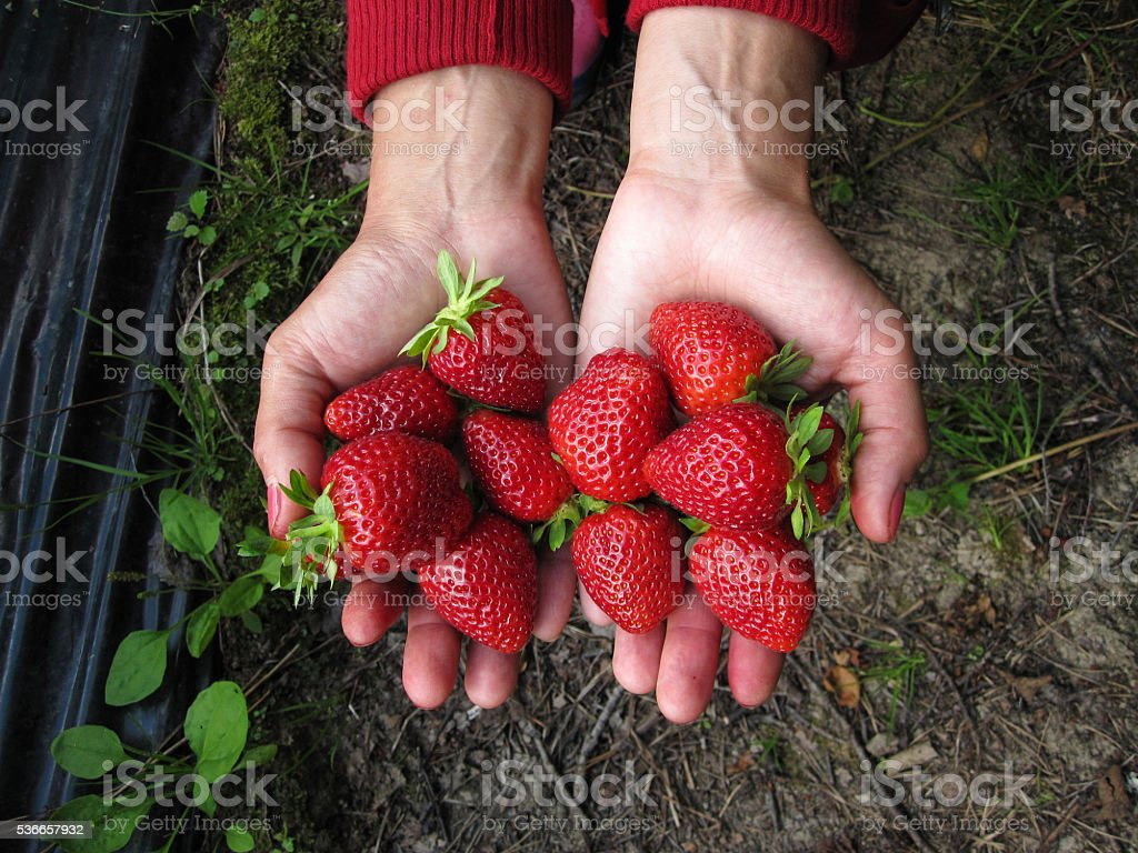 Strawberry red in the girl's hand stock photo