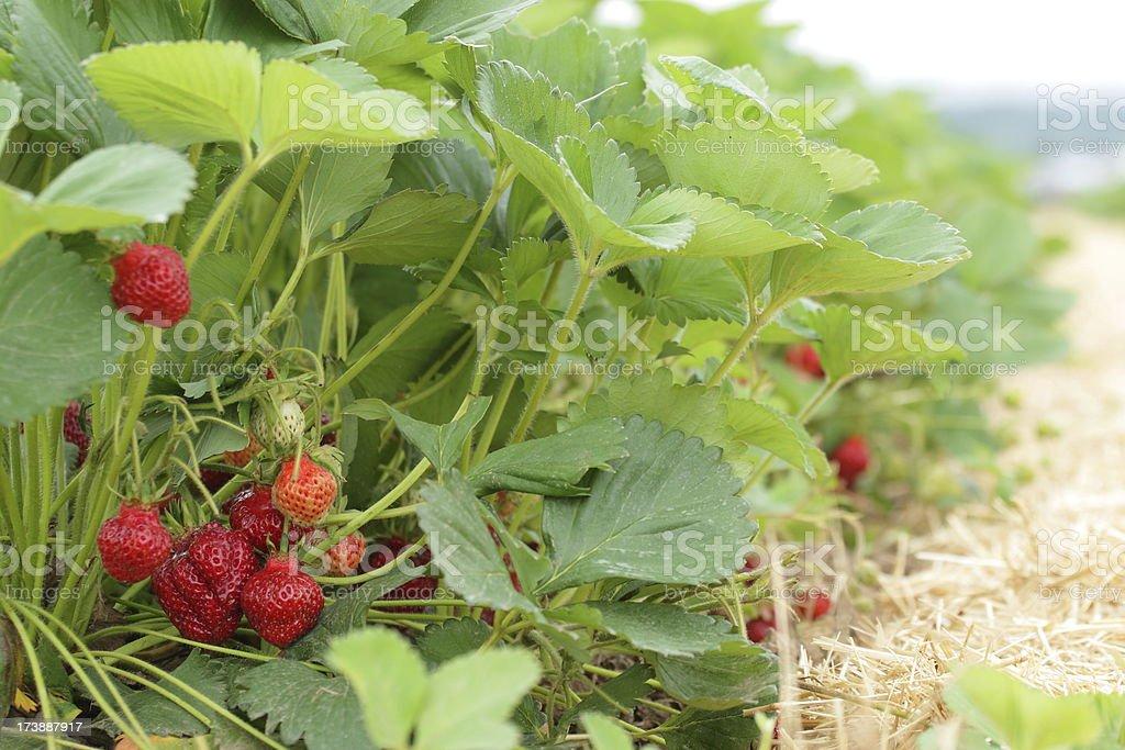 Strawberry Row royalty-free stock photo