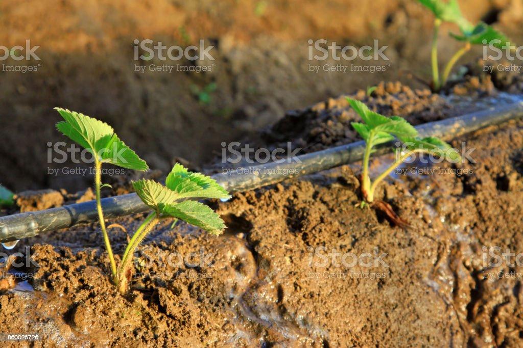 Erdbeerpflanzen und Bewässerungsanlagen in einer farm – Foto