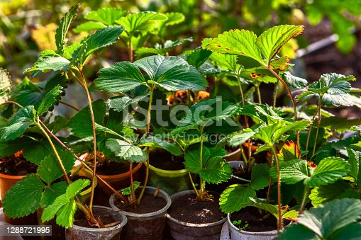 Strawberry seedlings ,  indoor potted plants to outdoor patches in the garden