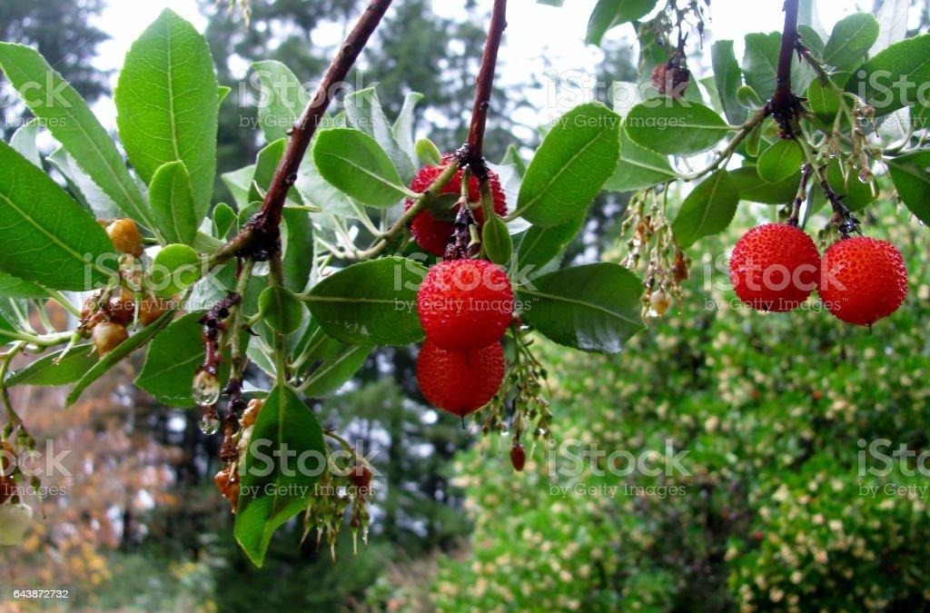 Strawberry tree (Arbutus unedo) fruit stock photo