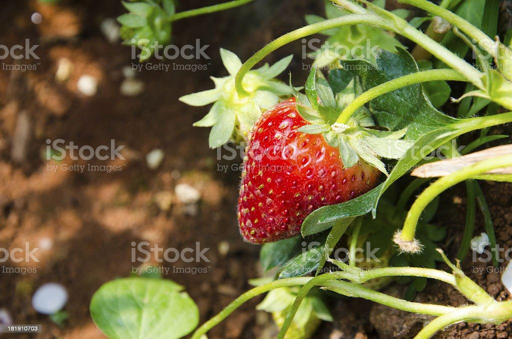 strawberry tree in plantation stock photo