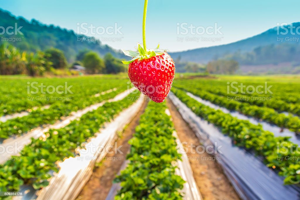 Strawberry with planting strawberry stock photo