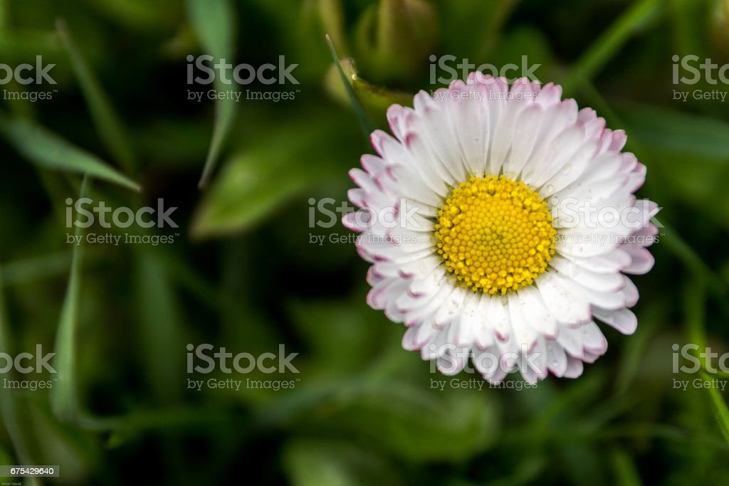 Strawflower from the right side. stock photo