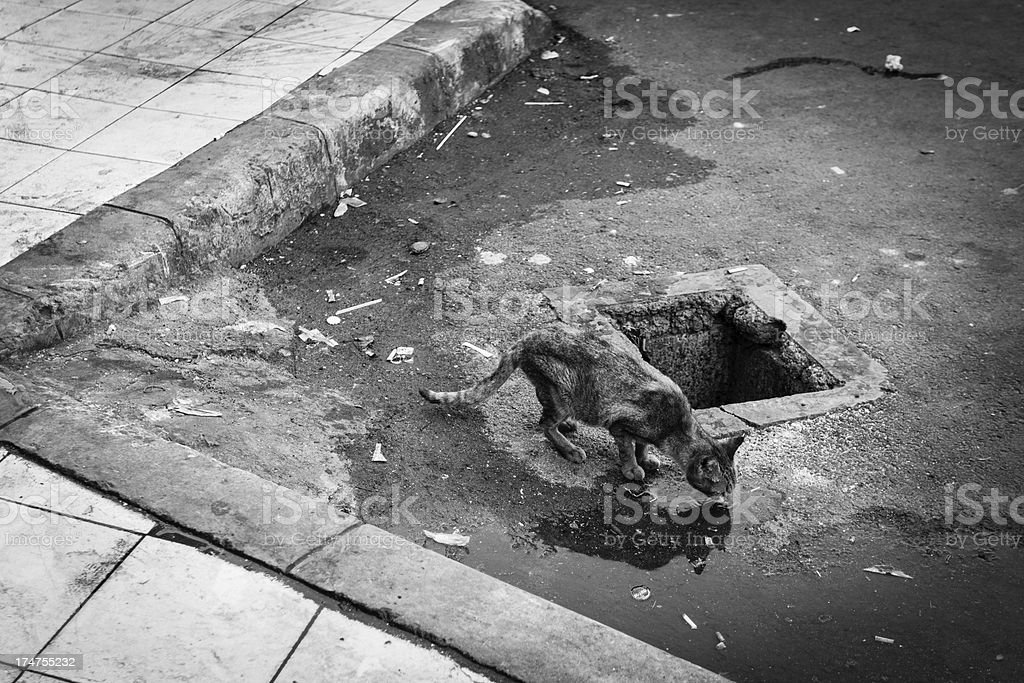 Stray Cat along the Road Drinking on a Puddle stock photo