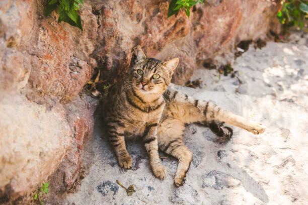 stray cat of oia, santorini, greece - котик яркий стоковые фото и изображения