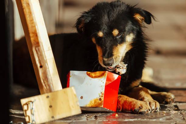 stray dog eats leftovers from a box of fried chicken - desperdício alimentar imagens e fotografias de stock