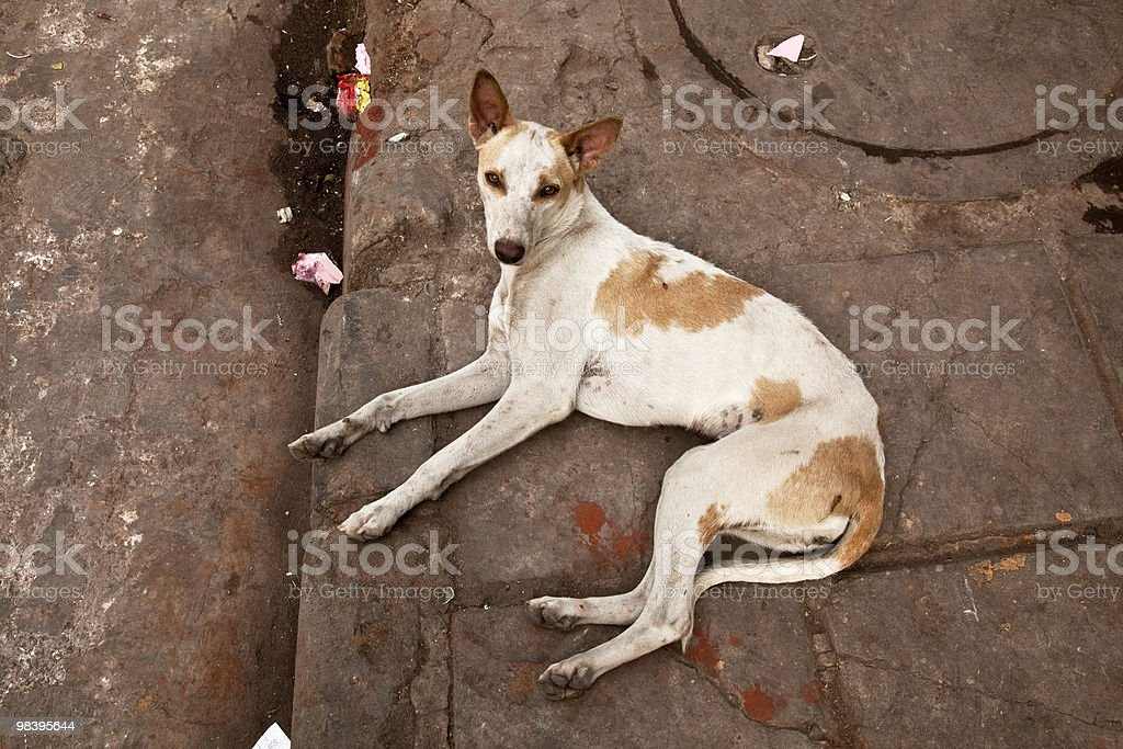 Stray dog in Delhi, India lying curbside royalty-free stock photo