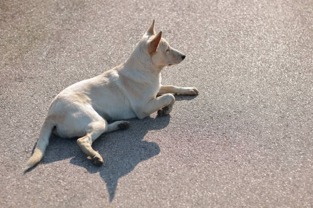 Stray dog lies down on road against sunlight picture id899379640?b=1&k=6&m=899379640&s=612x612&w=0&h=gsiwwx1ymz42a1suelgmv2jngfk4ti4viicntwrwpmg=