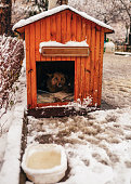 A stray dog looking towards the camera from his hut on a snowy winter day