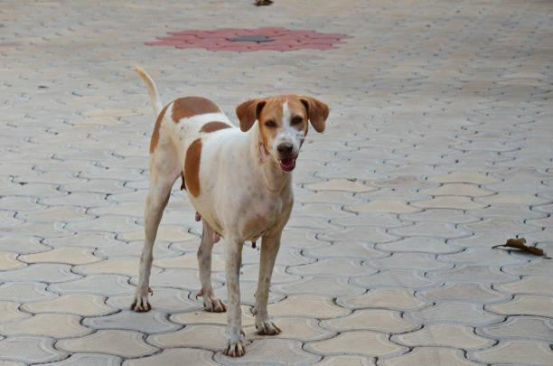 Stray Hund  – Foto