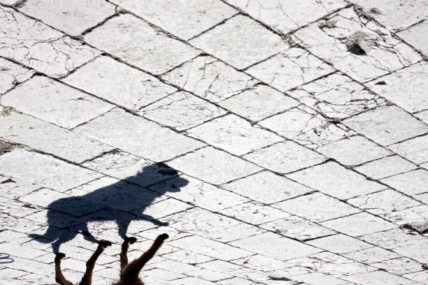 zwerfhond schaduw - dog looking at floor path stockfoto's en -beelden