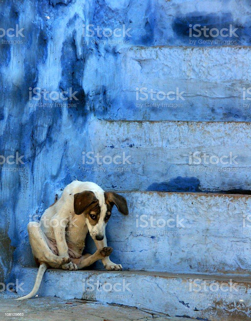 Stray dog sitting on blue stairs,Jodhpur,Rajasthan,India royalty-free stock photo