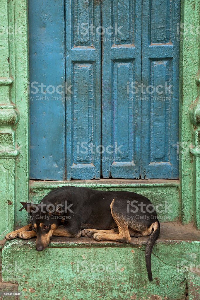 Stray Dog sleeping in front of blue door: Delhi, India royalty-free stock photo