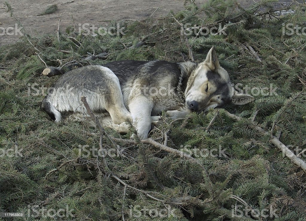 Stray dog sleeps royalty-free stock photo