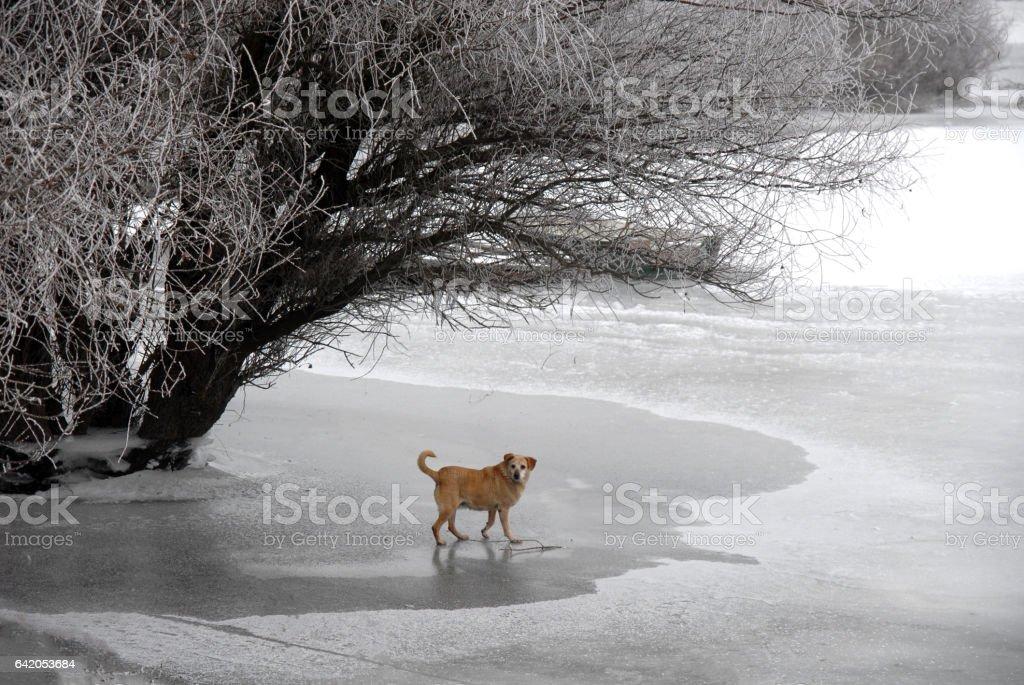 Stray dog walking at the frozen Danube stock photo