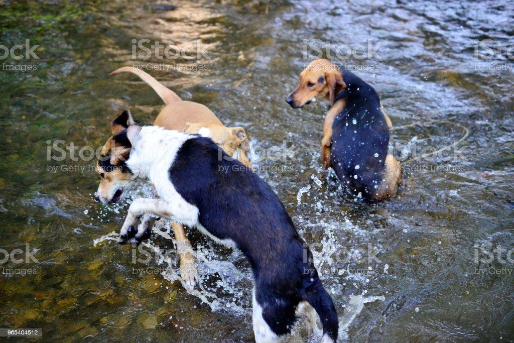 길 잃은 개와 amstaff 재생 및 크리 어 물에 시체를 새로 고침 - 로열티 프리 갈색 스톡 사진