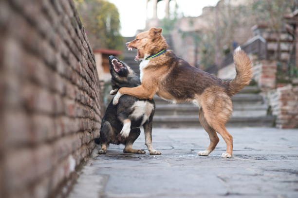 Stray dogs fighting on a street of Tbilisi, Georgia. stock photo