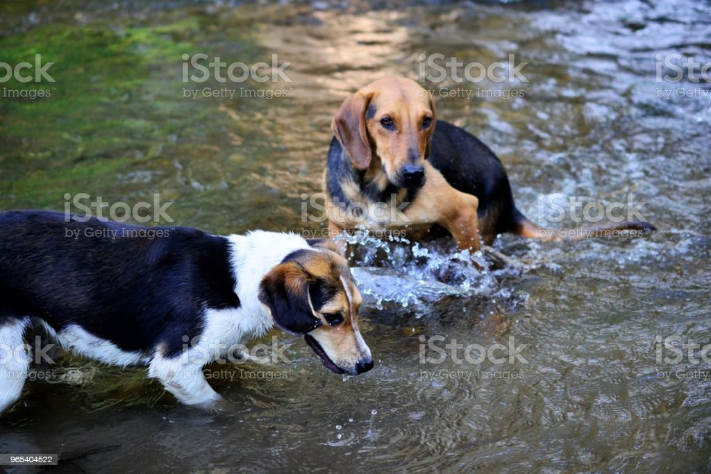 stray dogs refreshing on the creek water zbiór zdjęć royalty-free