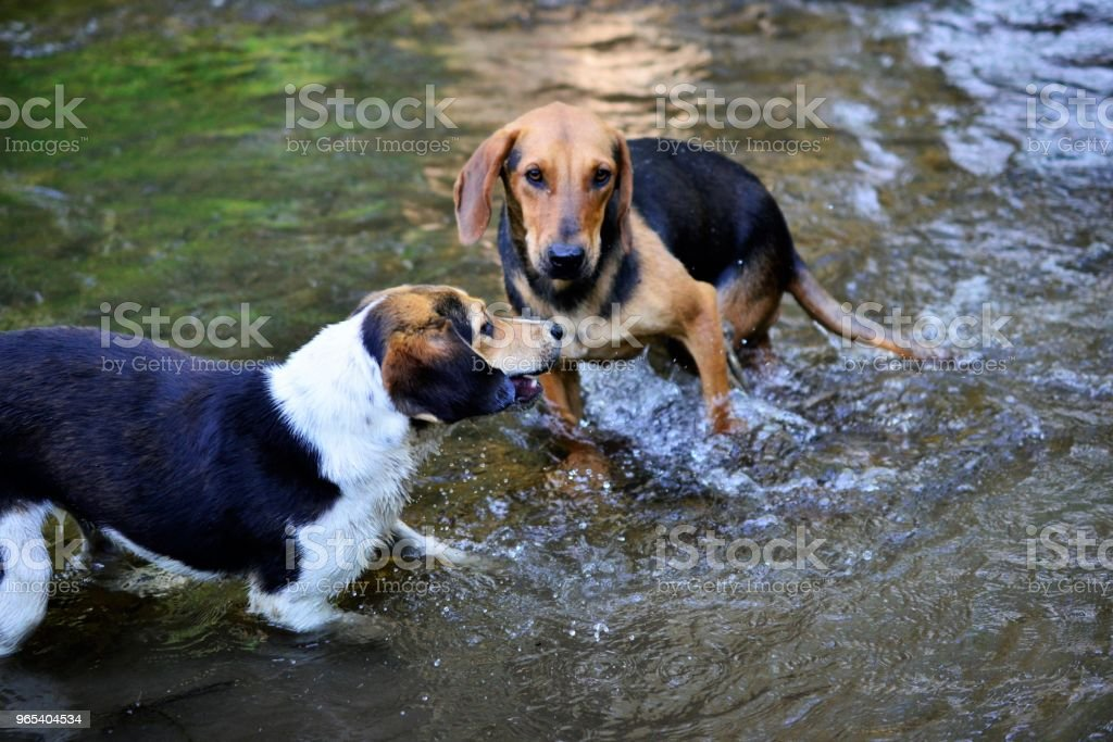 stray dogs refreshing on the creek water royalty-free stock photo