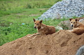 Couple of stray, street dogs lying down on a pile of sand. Looks at me when I took pictures of them. Native breed but fidel creatures.