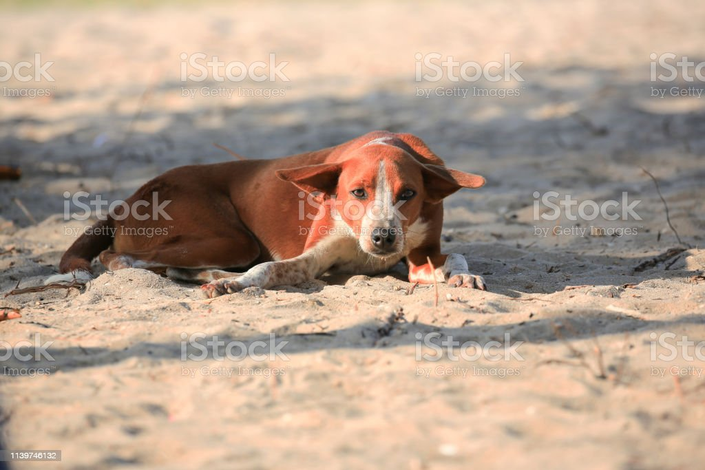 Stray dog resting on the beach of Riohacha, the capital city of the...